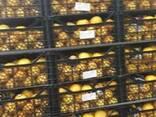 Мандарины, фото 4