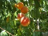 Fruites from the foothills of Turkmenistan - photo 3