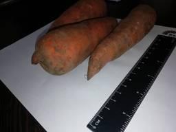 Jeg vil selge gulrøtter engros Kasakhstan