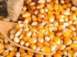 Yellow corn - photo 1